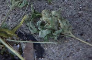 Marijuana Grow Op Theft