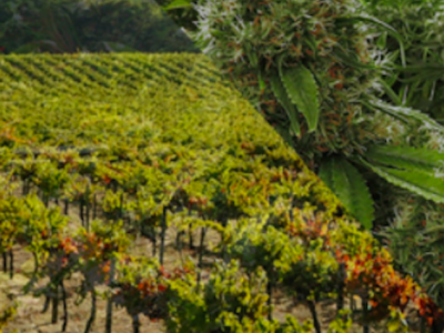 Wine Country Turns To Weed Country
